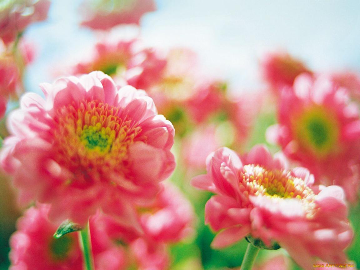 soni, puma, цветы, хризантемы